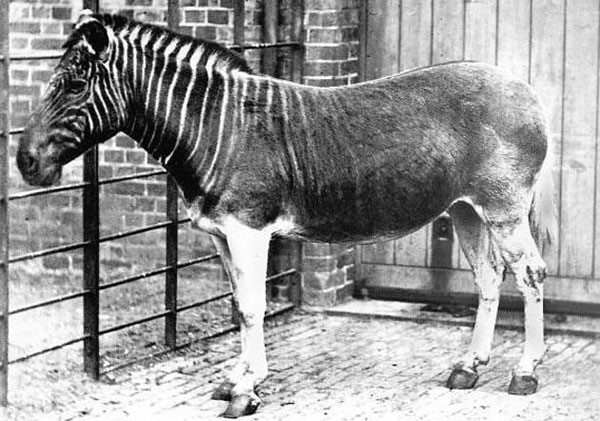15. The only photograph of a living Quagga (now extinct) from 1870