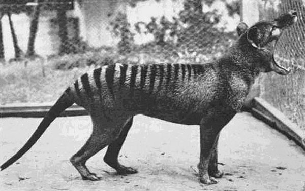 8. The last known Tasmanian Tiger (now extinct) photographed in 1933