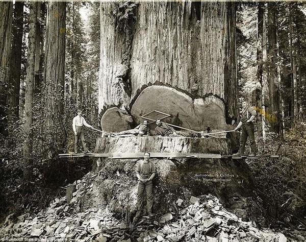 25. California lumberjacks working on Redwoods