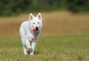 swiss-shepherd-dog-354526_1920
