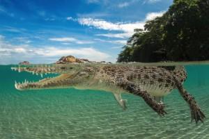 Australian Croc